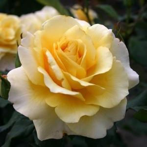 rhs-tea-rose
